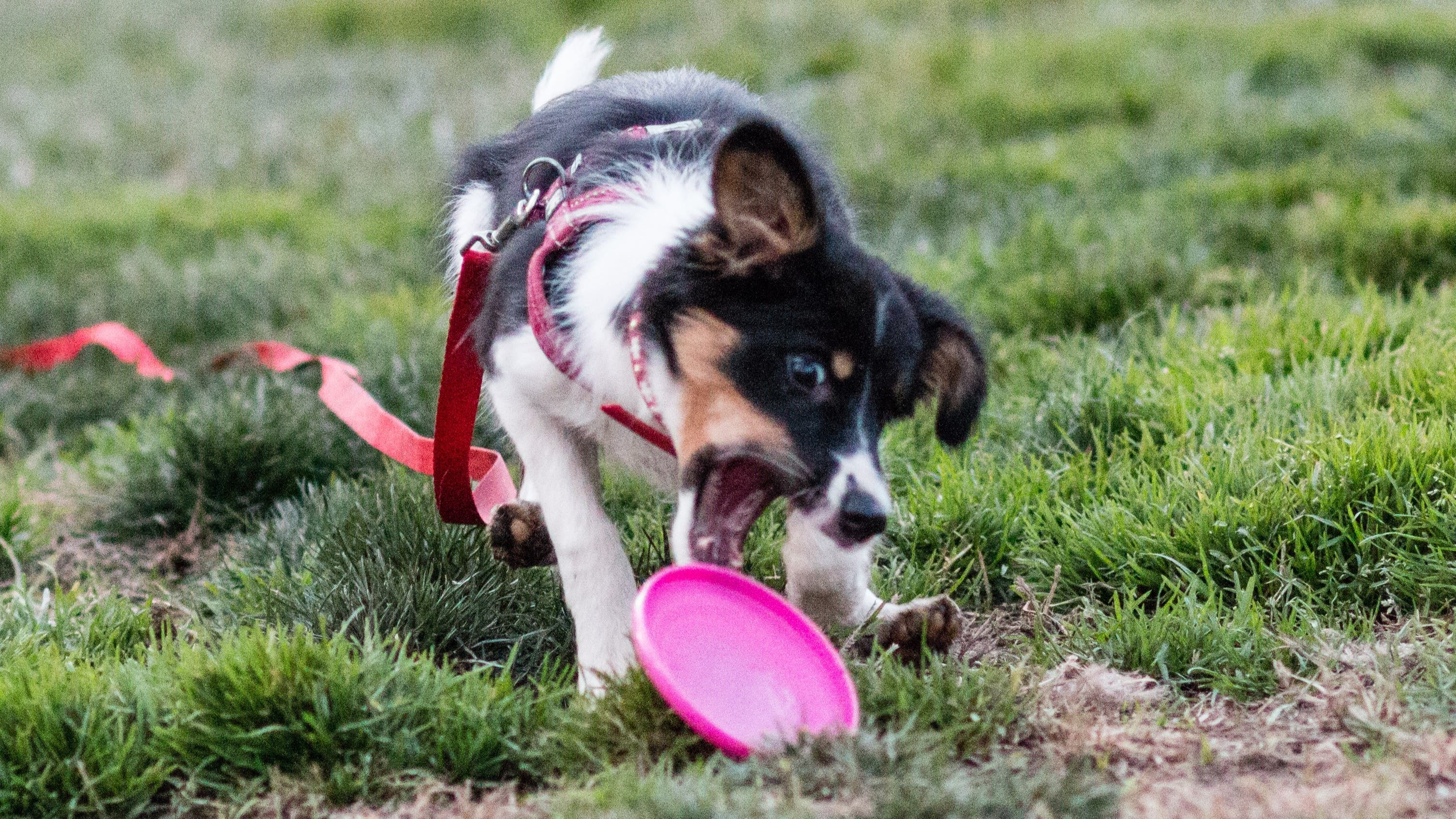 The Ultimate Disc Dog Foundations Guide! Fundamental Skills for Disc Dogs & Puppies