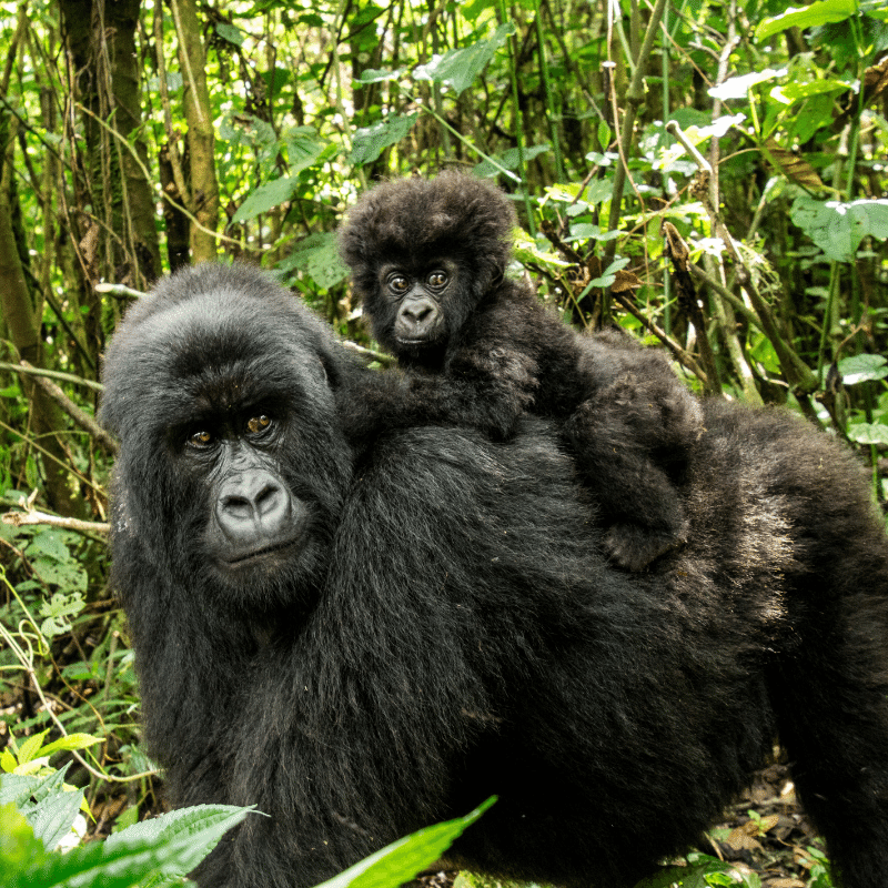 Mother and Baby Gorilla Endangered Species