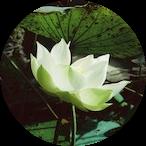White lotus opening up