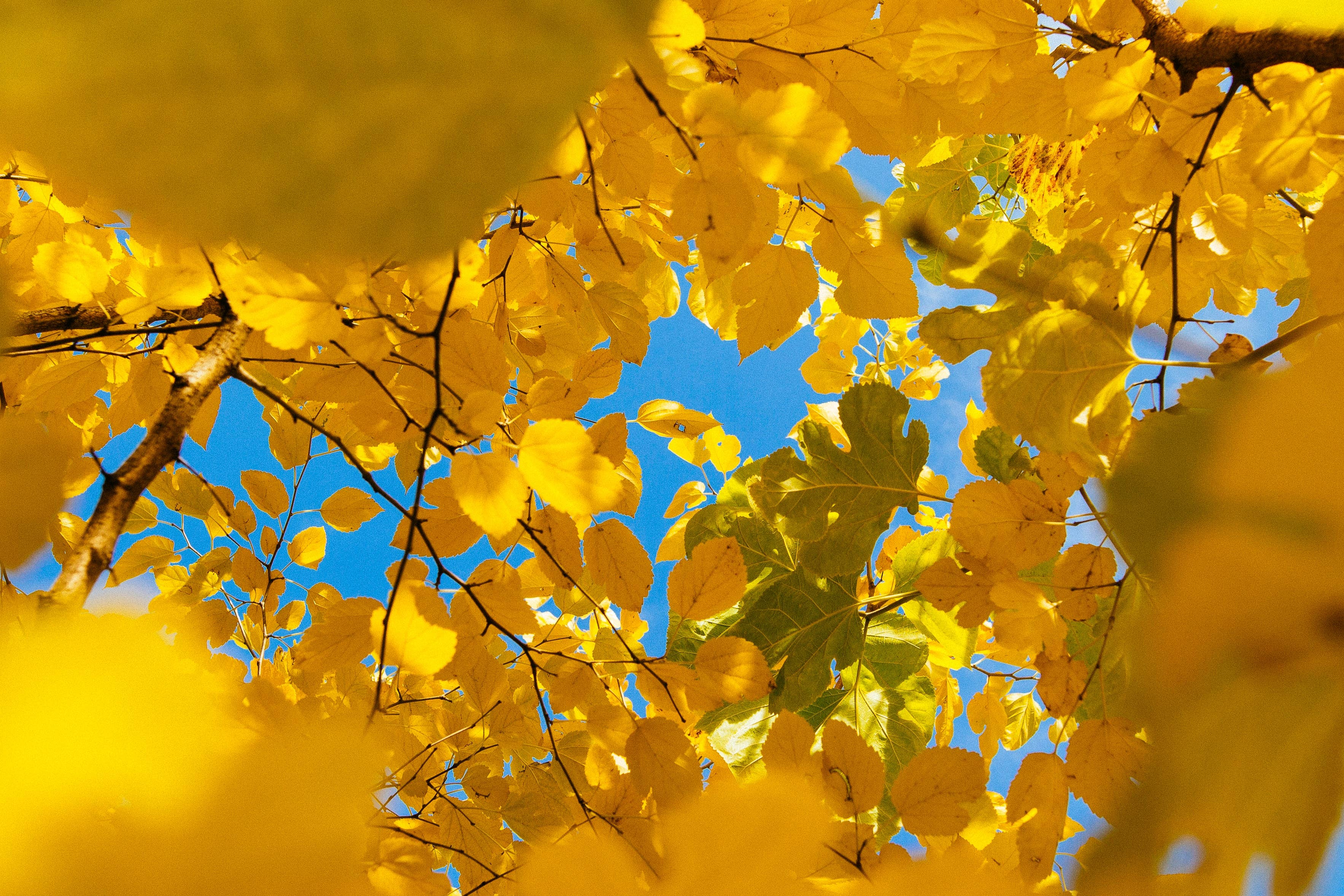Alt='Photo looking up through canopy of golden-yellow leaves into bright blue sky'