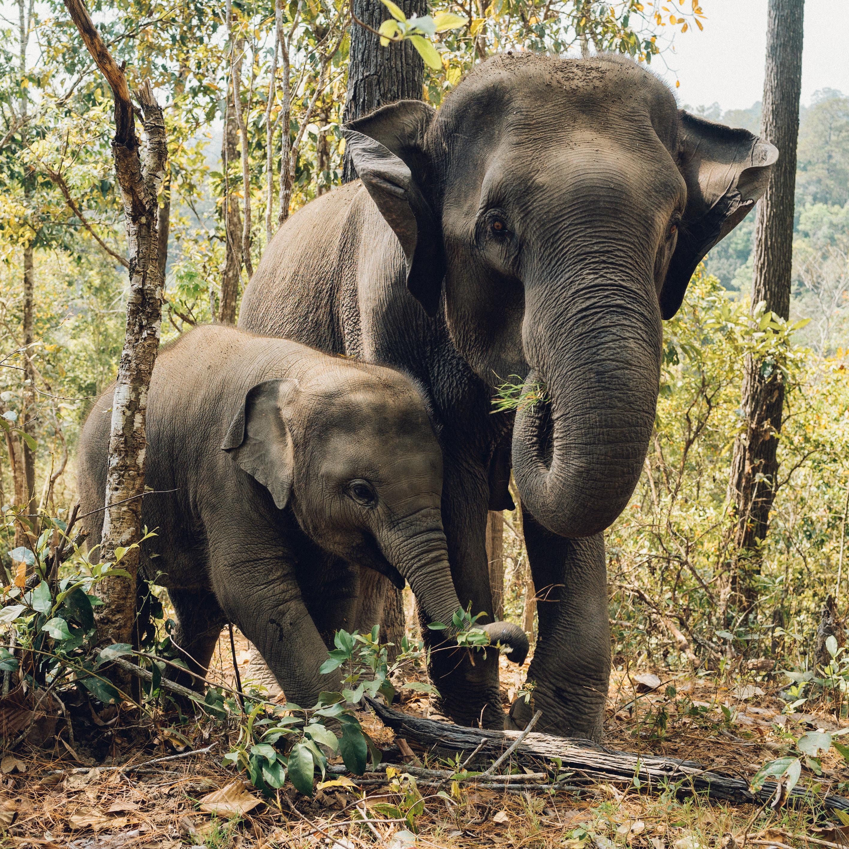 Two Elephants Eating