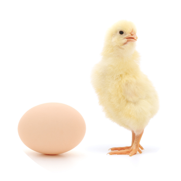 Sassy chick with an egg