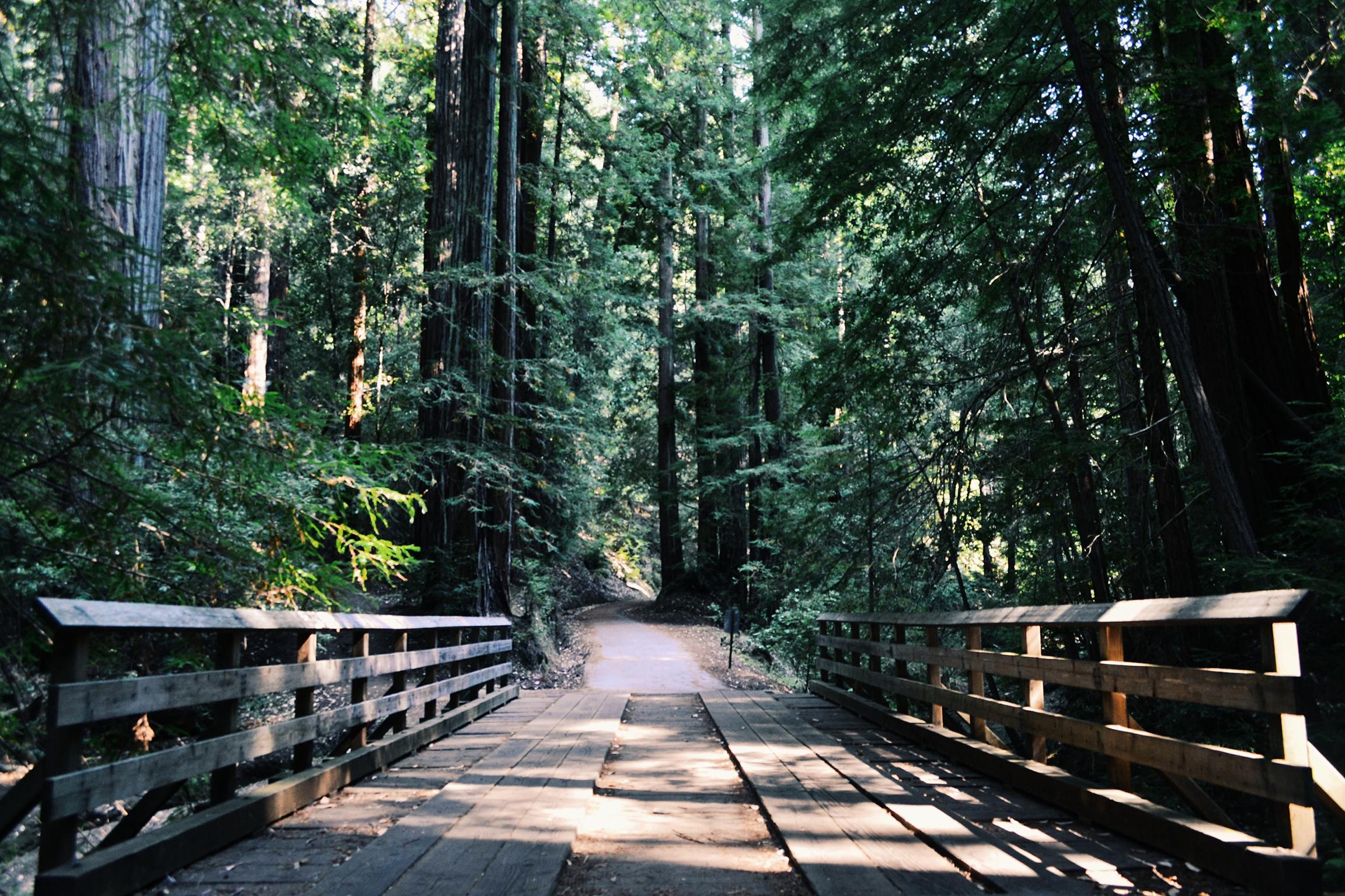 bridge path amongst redwoods and firs on Mount Tamalpais