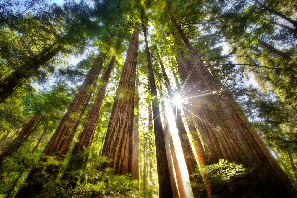 sequoias with sun shining through