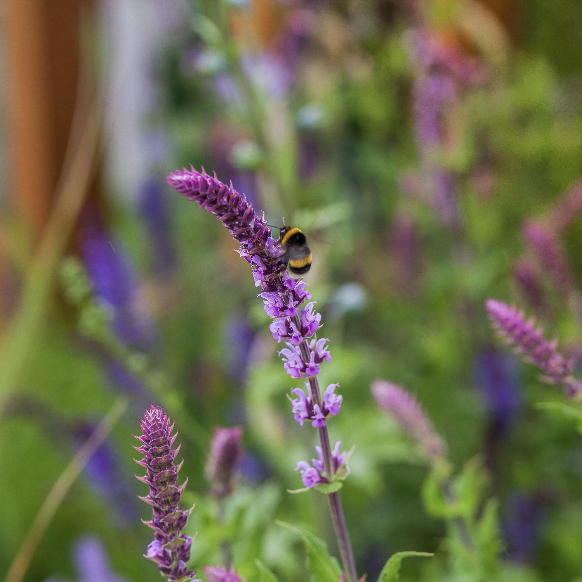 a bee on a beautiful salvia flower design by Leonie Cornelius