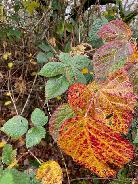 red green bramble leaves