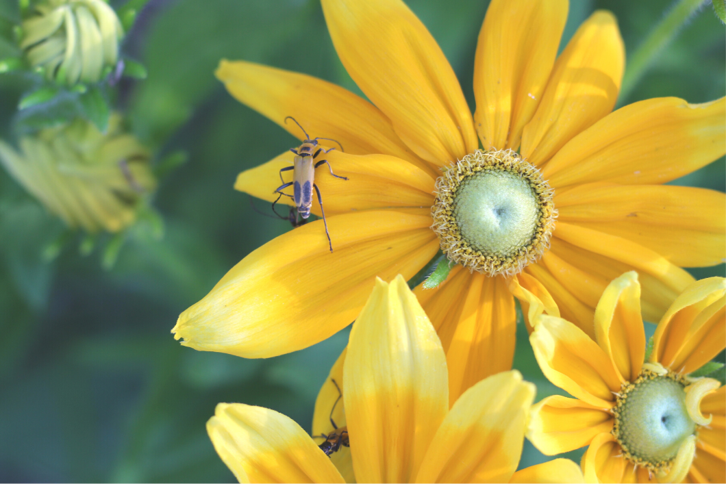 yellow flowers with yellow insect in garden