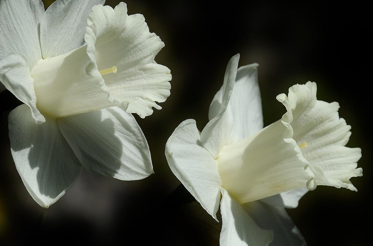 Valkoisia narsisseja, kukkia