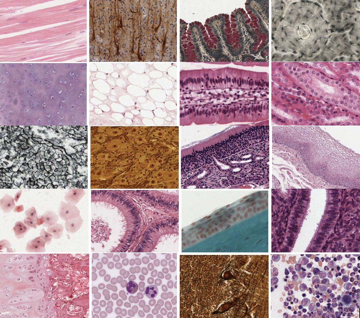 Histology of the cell, epithelium, connective tissues, muscle and nerve tissues.