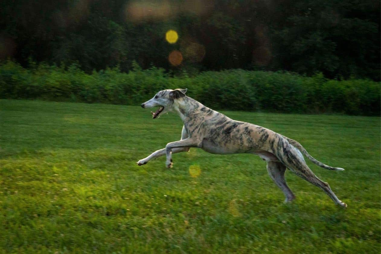 Whippet at full stretch