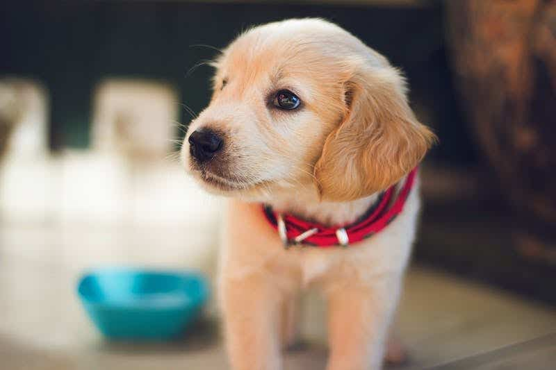 Puppy with bowl